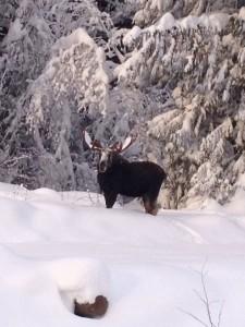 Moose, Dec 2012